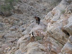 goats, rocks, desert, hostile environment