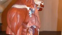 brain, human anatomy, body parts