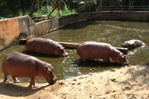 hippos, zoo