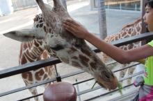 giraffe, feeding giraffes
