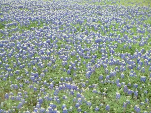 field of flowers, bluebonnets