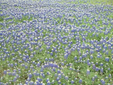 field of flowers, bluebonnets